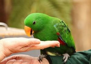 адаптация попугая