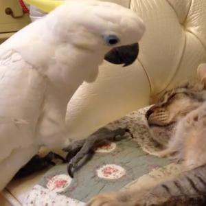 какаду и кошка