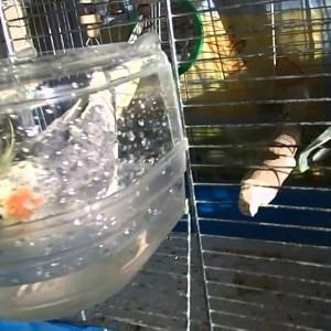 купалка для кореллы
