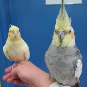 попугай корелла фото