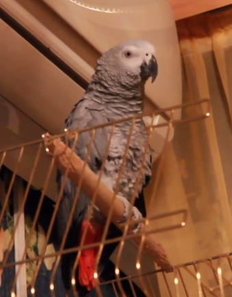 попугай разговаривает как кот