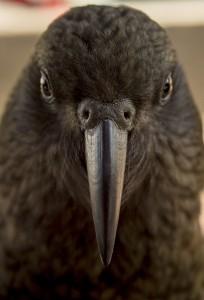 попугай кеа плотоядный