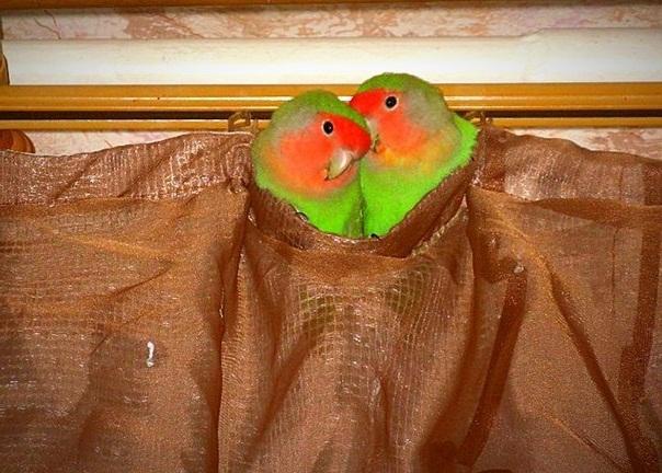 Сколько живут неразлучники попугаи в домашних условиях 55
