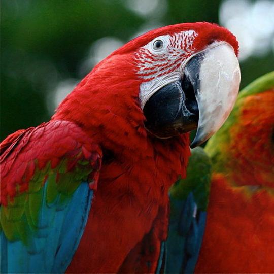 опасный попугай