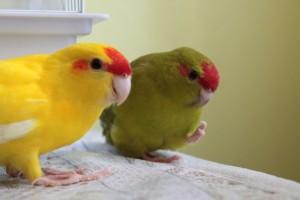 какарики поют