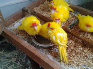 какарики птенцы