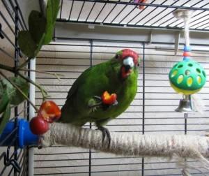 новозеландский попугай какарик