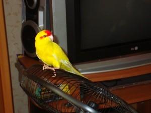 попугай какарик разговаривает