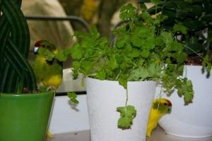 содержание попугая какарика