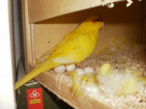 высиживание яиц