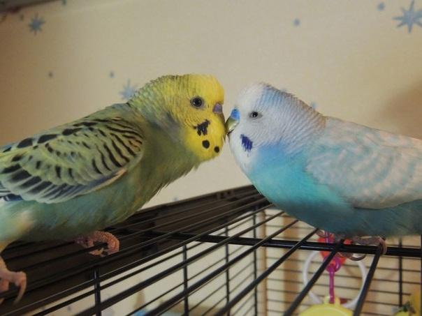 два волнистых попугая