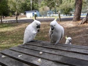 какаду попугаи