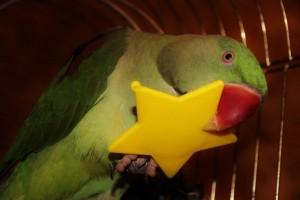 фото александрийский ожереловый попугай