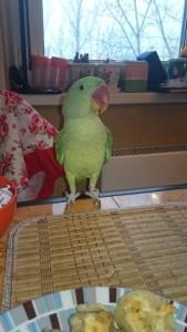 ожереловый попугай самец