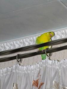 волнистый попугай красивый фото
