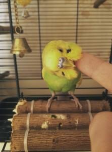 волнистый попугай чешется
