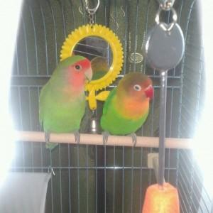 как узнать пол попугая неразлучника