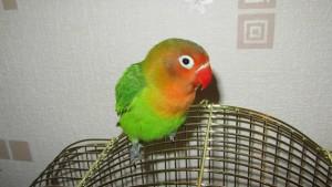 кличка для попугая неразлучника