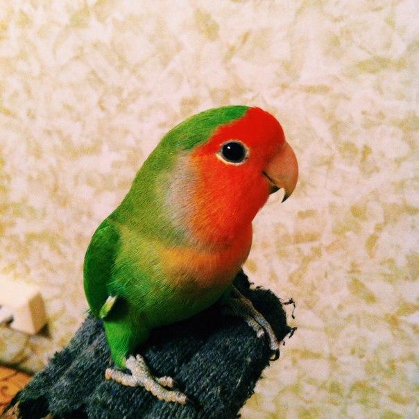 Сколько живут неразлучники попугаи в домашних условиях 134
