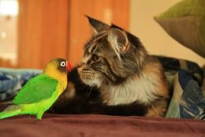 кошка и неразлучник