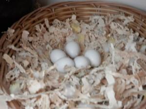 неразлучники яйца