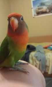 неразлучники попугаи размножение