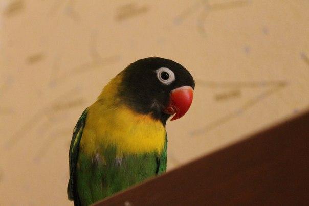 попугаи неразлучники как научить говорить