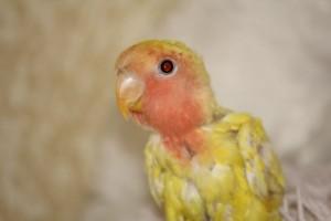 разведение попугаев неразлучников