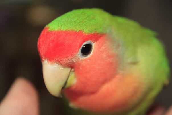 сколько попугаи неразлучники высиживают яйца