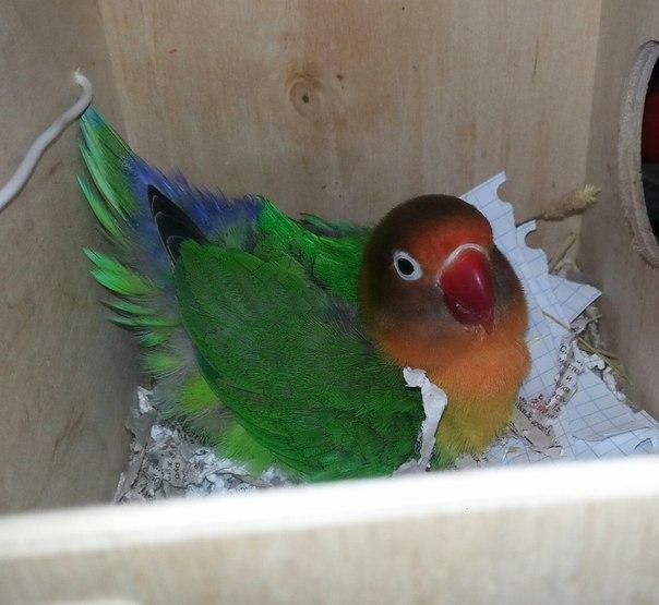 Жако попугай содержание в домашних условиях кормление
