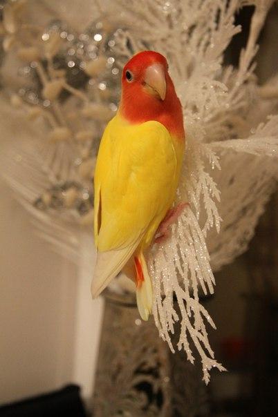 Сколько живут попугаи неразлучники в домашних