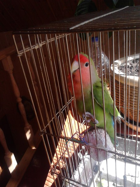 Сколько живут неразлучники попугаи в домашних условиях 532