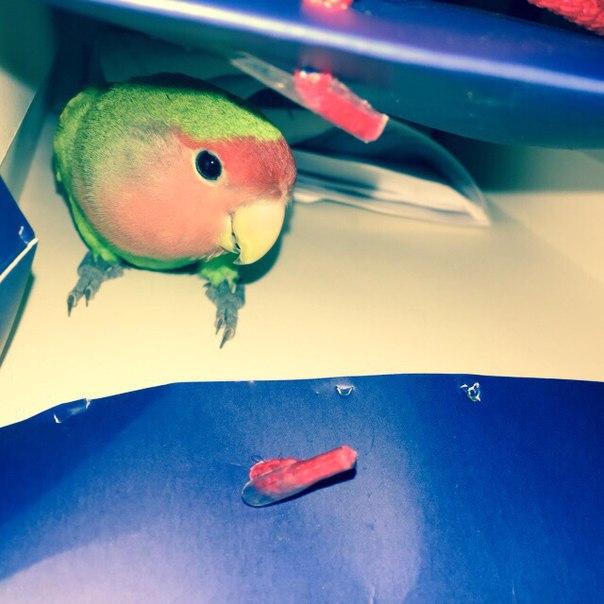 сколько живут попугаи неразлучники в домашних условиях