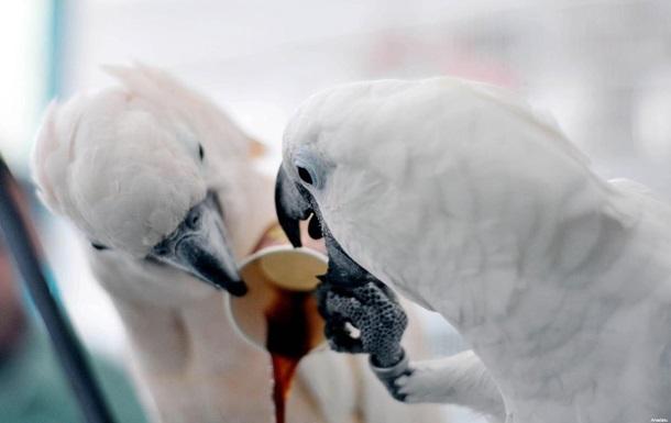 какаду рико и коко