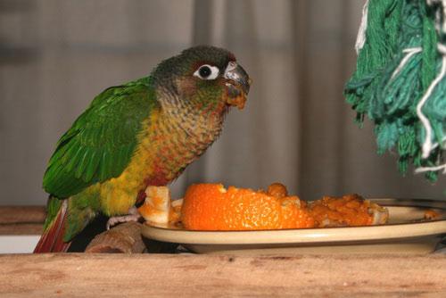 попугай ест апельсин