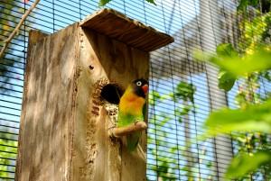 Agapornis_personatus_-Honolulu_Zoo,_Hawaii,_USA-8a