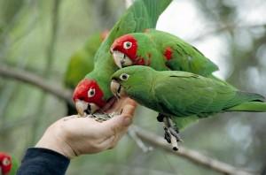 попуга кушают