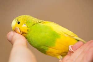 гладит клювик попугая