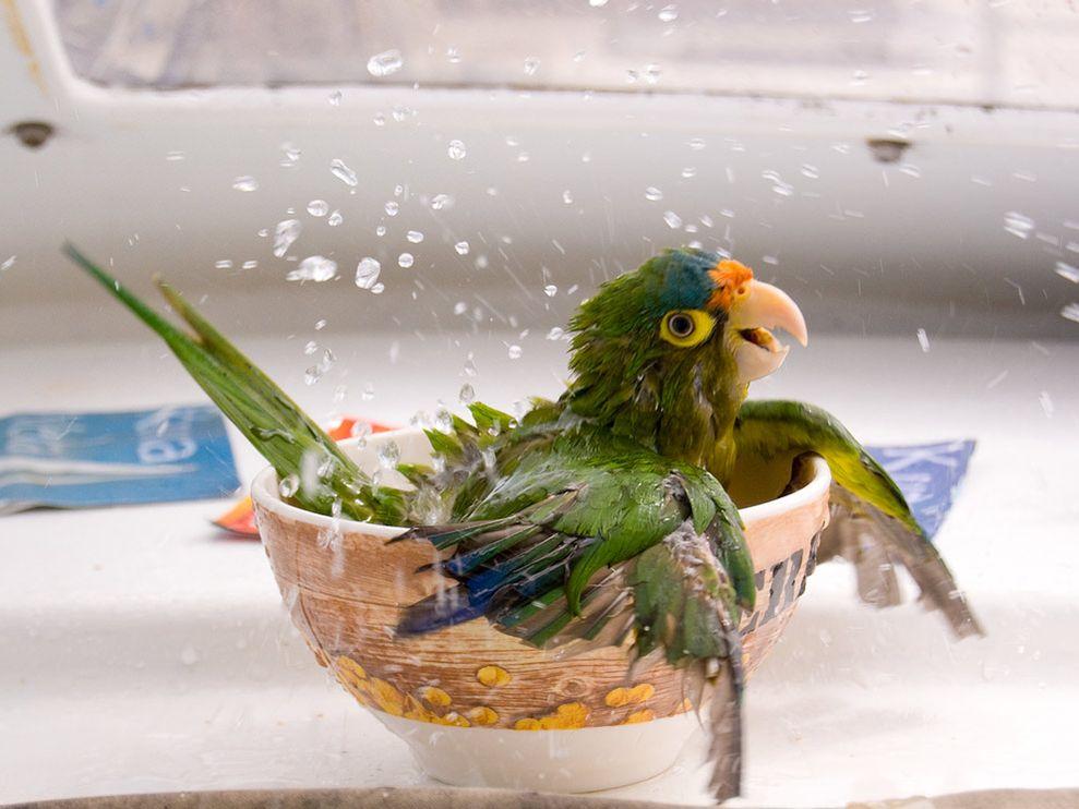 попугай плещется