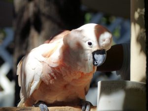 какадусечка